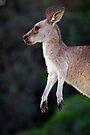 Kangaroo at Pebbly Beach by Darren Stones