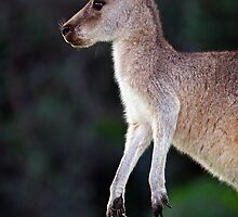 Kangaroo at Pebbly Beach by Darren Stones