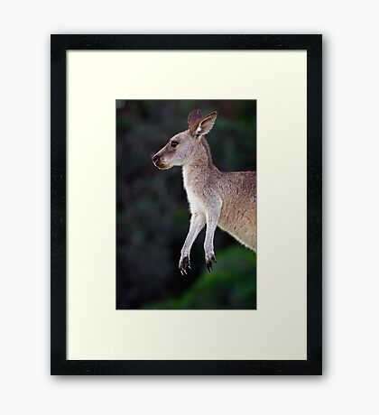 Kangaroo at Pebbly Beach Framed Print
