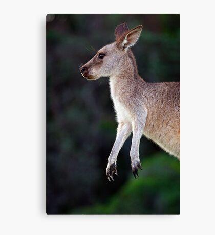 Kangaroo at Pebbly Beach Canvas Print