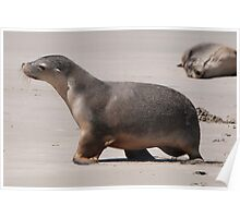 Sealion Cub Poster