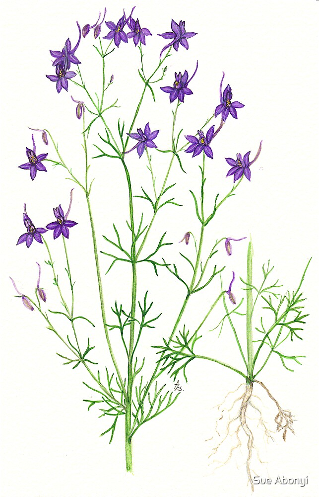 Forking Larkspur - Consolida regalis by Sue Abonyi
