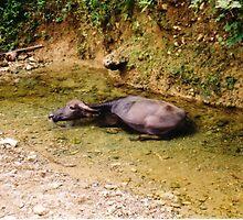Water Buffalo by Robert Phelps