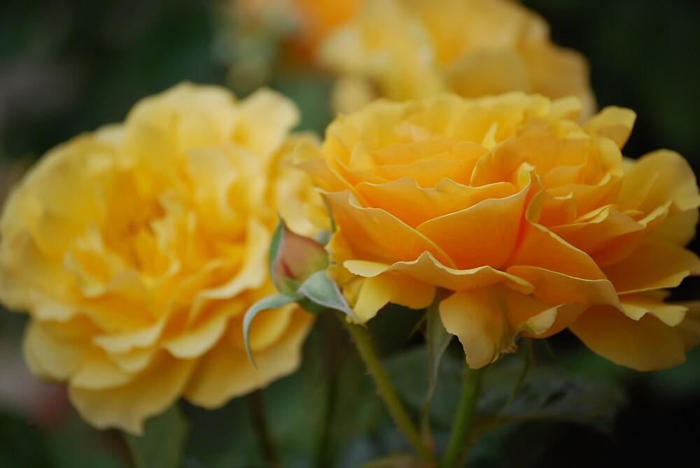 Roses by Princessbren2006
