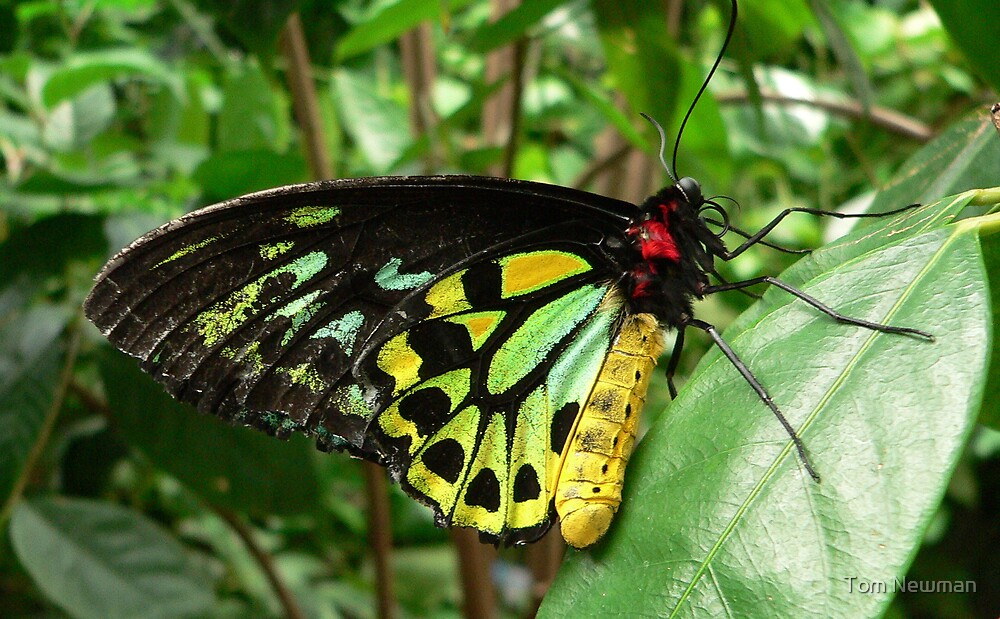 Cairns Birdwing  by Tom Newman