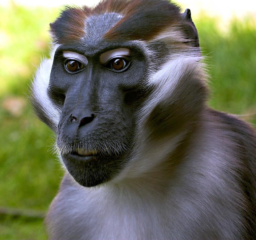Mangabey Monkey by kitlew