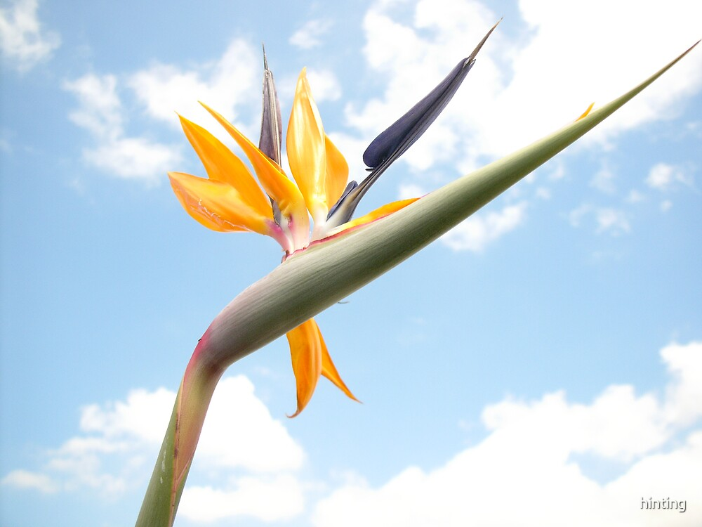 Hope - Bird of paradise by hinting