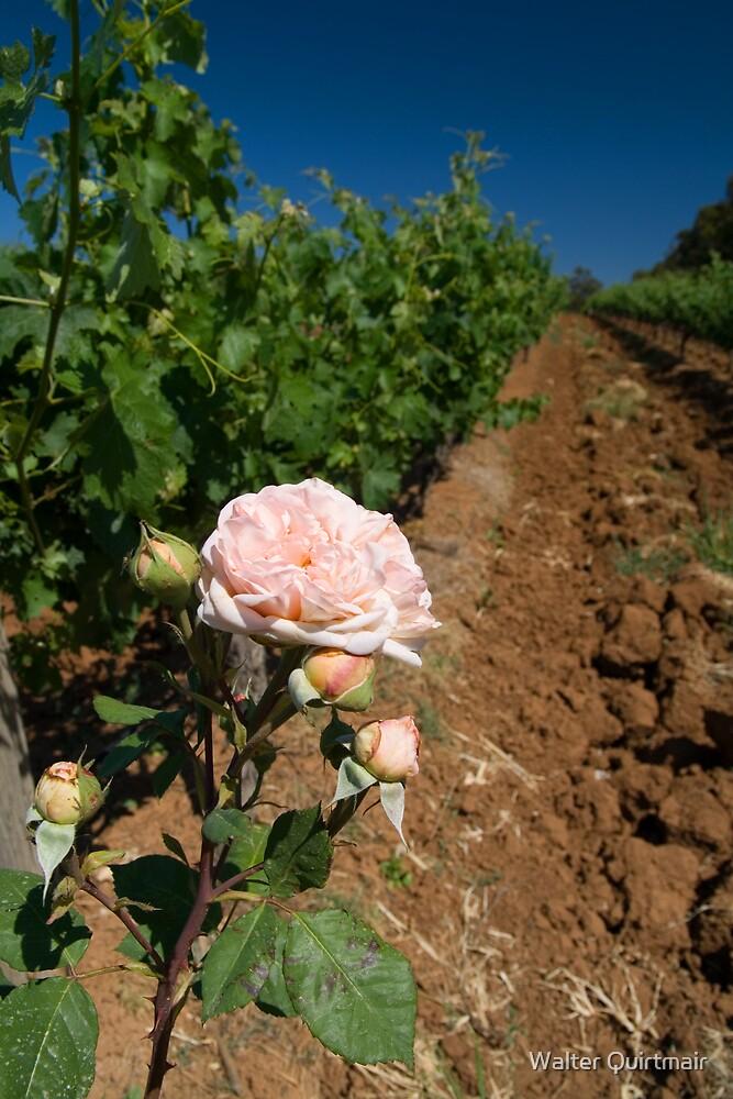 Vineyard by Walter Quirtmair