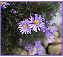 Cutleaf daisy.  _Brachyscome multifida_ Photographic Print