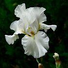White Bearded Iris by Jan Hopgood