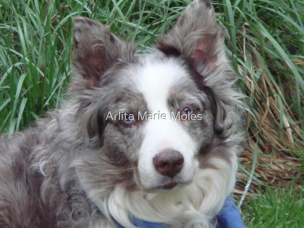 Australian Shepard Dog  by Arlita Marie Moles