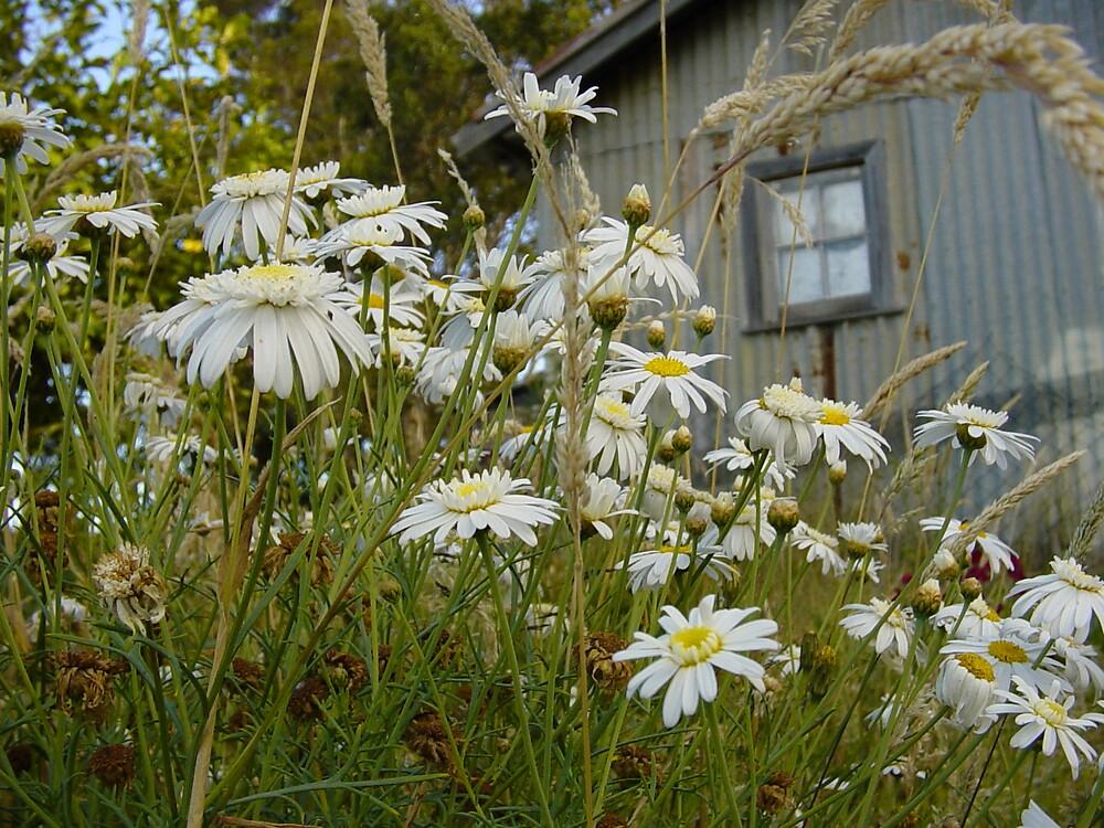 Daisies at Blackwarry by Owen Cheek