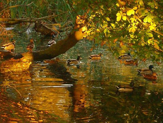 Bathing Ducks  by Kate Towers IPA