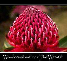 Wonders of Nature - The Waratah by Ben Shaw