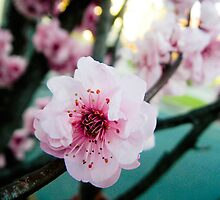 cherry blossom by camillemcd