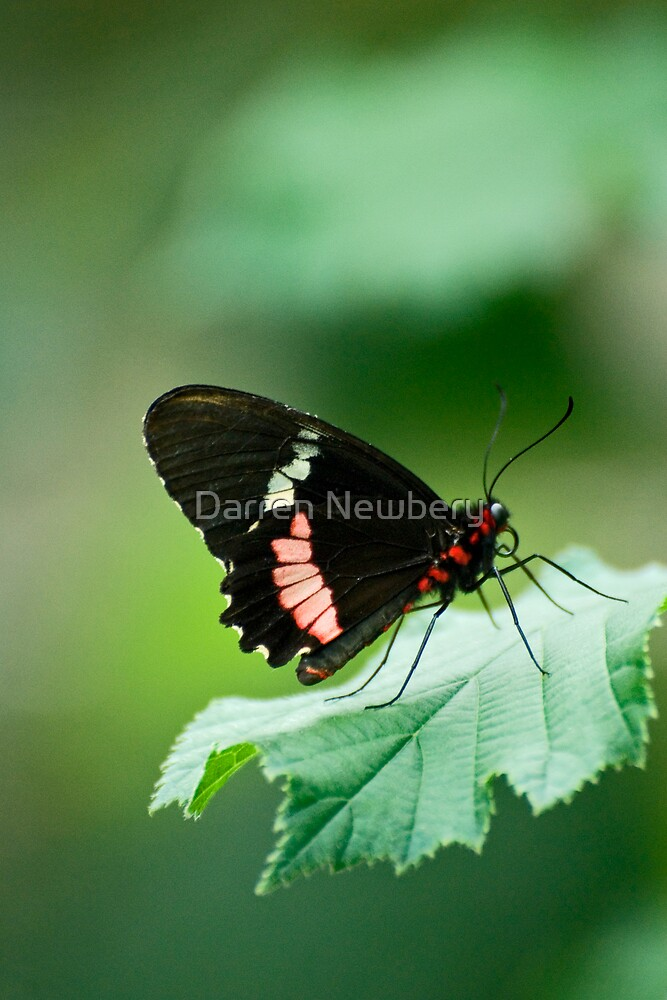 butterfly series one by Darren Newbery