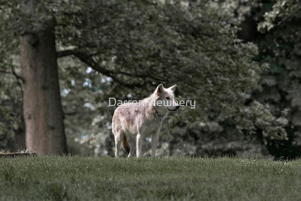 Wolf by Darren Newbery