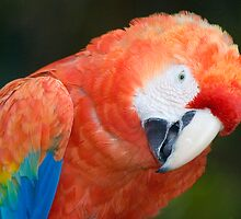Scarlet Macaw Parrot by Eyal Nahmias