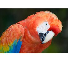Scarlet Macaw Parrot Photographic Print