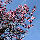 Pink Magnolia by Ms-Bexy