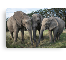 Trio of African elephants  Canvas Print