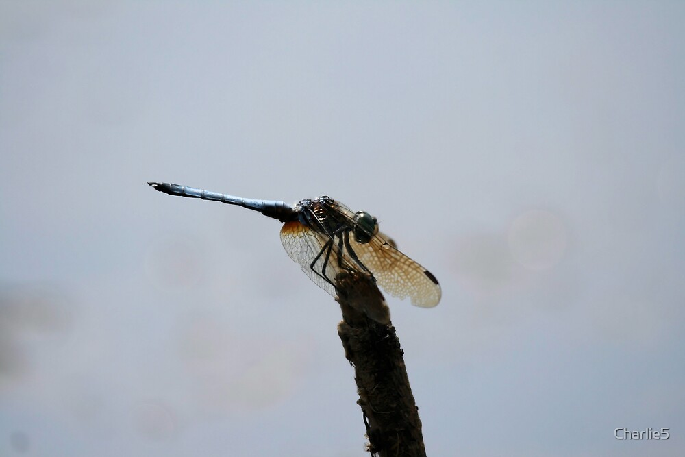 dragon fly resting by Charlie5