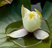 Water Lily by sgotwr
