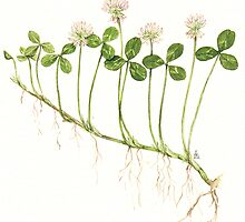 White Clover - Trifolium repens by Sue Abonyi