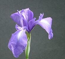 Blue Water Iris by Chris Quinlan