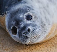 Grey Seal Pup by Blagnys