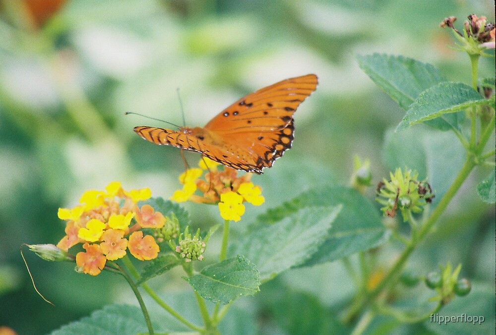 lovely butterfly  by flipperflopp