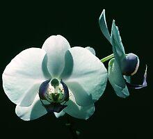 Orchid 3 by RickKramer