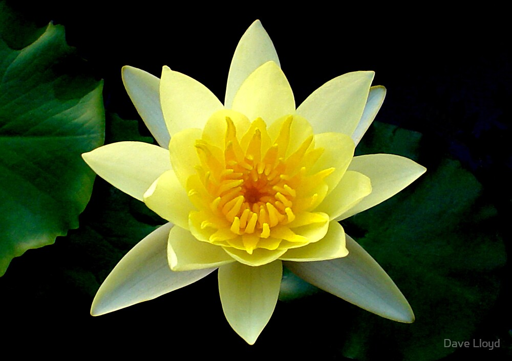 Yellow Lotus by Dave Lloyd