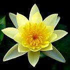 Yellow Lotus by Dave Lloyd