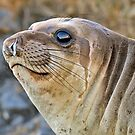Young female Elephant Seal profile  by Eyal Nahmias