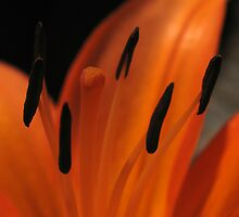 Orange Lily by shutterbug3070