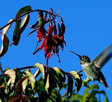 #223  Hummingbird On Fuschia  by MyInnereyeMike