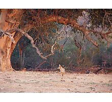 Coyote Under Mother Euc Photographic Print