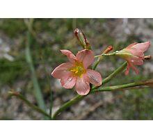 Rottnest Flowers - Pink/Peach Photographic Print