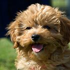 Ruby the Cavoodle by Irene Scales