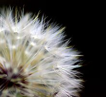 Dandelion (Burst) by berndt2