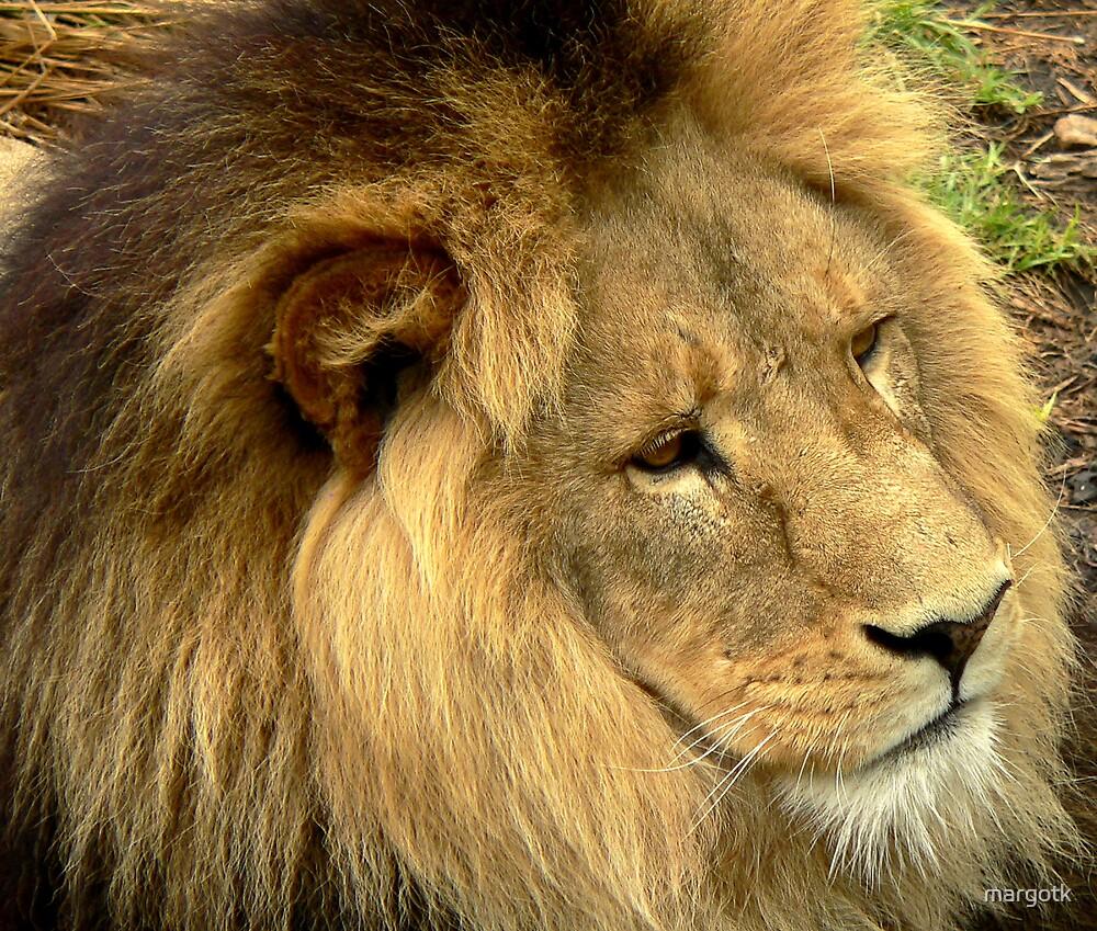 Lion by margotk