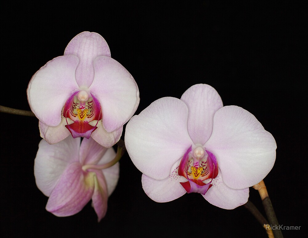 Orchid 4 by RickKramer
