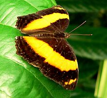 Australian Lurcher Butterfly by Tom Newman