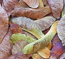 Sycamore Seeds by grandaded