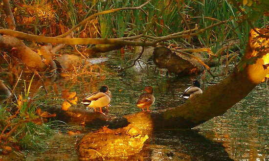 Ducks  by Kate Towers IPA