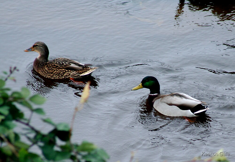 Male and Female Mallards by Keeton Gale