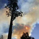 Eucalyptus Regnans, Styx Valley Tasmania by Erland Howden