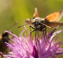 Small Skipper Butterflies by Robert Carr