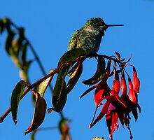 #235  Hummingbird Perched On Fuschia  #2 by MyInnereyeMike